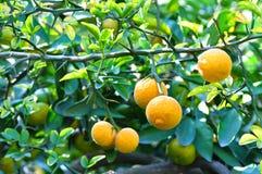 Zitrusfrucht trifoliata Stockbilder