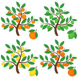 Zitrusfruchtbäume Lizenzfreies Stockfoto