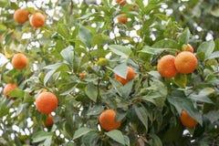 Zitrusfruchtbaum stockfotografie