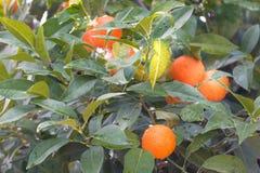 Zitrusfruchtbaum stockbild