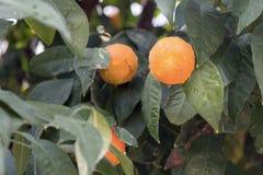 Zitrusfruchtbaum stockfotos
