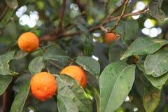 Zitrusfruchtbaum stockbilder
