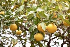 Zitrusfruchtbaum lizenzfreies stockfoto