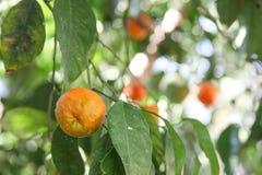Zitrusfruchtbaum lizenzfreie stockfotografie