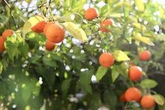 Zitrusfruchtbaum lizenzfreie stockbilder