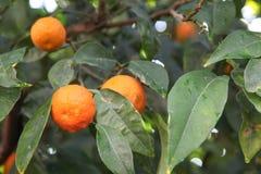 Zitrusfruchtbaum lizenzfreie stockfotos