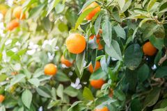 Zitrusfruchtbaum lizenzfreies stockbild