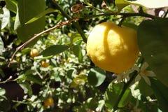 Zitrusfruchtbaum in Afrika Lizenzfreie Stockbilder
