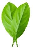 Zitrusfruchtblätter lokalisiert auf weißem Hintergrund Stockfoto