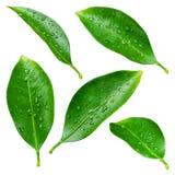 Zitrusfruchtblätter mit Tropfen lokalisiert auf Weiß Lizenzfreie Stockfotos