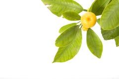 Zitrusfruchtblatt stockfotos