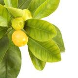 Zitrusfruchtblatt lizenzfreie stockbilder