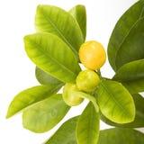 Zitrusfruchtblatt lizenzfreies stockbild
