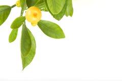 Zitrusfruchtblatt lizenzfreie stockfotos
