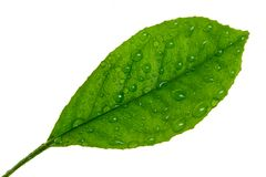 Zitrusfruchtblatt whith Wassertropfen lokalisiert auf einem Weiß lizenzfreie stockfotos