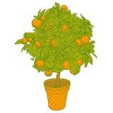 Zitrusfruchttangerine-, -orangen- oder -zitronenzitrusfruchtbaum Stockbilder