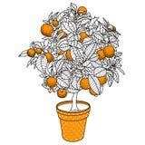 Zitrusfruchttangerine-, -orangen- oder -zitronenzitrusfruchtbaum in einem Topf Lizenzfreie Stockfotos