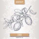 Zitrusfruchtzitronenalias Zitronen-Niederlassungsskizze auf elegantem Spitzehintergrund Stockbild