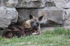 Zittende bruine hyena Royalty-vrije Stock Fotografie