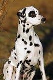 Zittende Dalmatische hond Royalty-vrije Stock Fotografie
