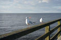 Zittende het lachen meeuwen of zeemeeuwen op leuning van oude houten pier in de kust van Oostzee Stock Afbeelding