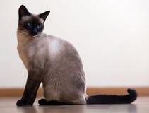 Zittende jonge Siamese kat Stock Foto