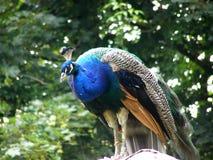 Zittende mannelijke pauw Royalty-vrije Stock Foto