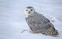 Zittende Sneeuwuil Stock Afbeelding