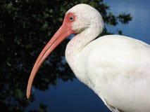 Zittende Witte Ibis Stock Foto