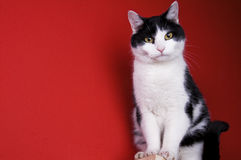 Zittende zwart-witte kat Stock Foto's