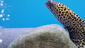 Zitteraal Electrophorus electricus Frischwasserfische stock video