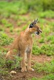 Zitting Caracal Stock Fotografie