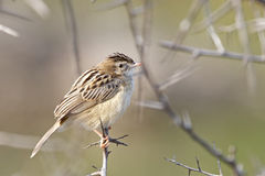 Zitting cisticola或斑纹的杉状尾鸣鸟 免版税库存照片
