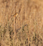 Zitting Cisticola Immagine Stock
