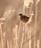 Zitting Cisticola against the light Stock Photo