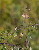 Zitting Cisticola on blackberry Stock Images