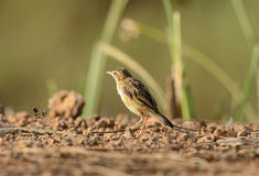 Zitting Cisticola (Cisticola juncidis) Royalty Free Stock Images