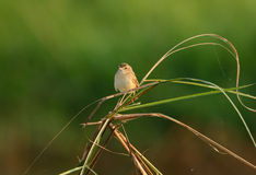 Zitting Cisticola (Cisticola juncidis) Stock Photo