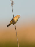 Zitting Cisticola perching on reed Royalty Free Stock Images