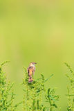 Zitting Cisticola Royalty Free Stock Photography