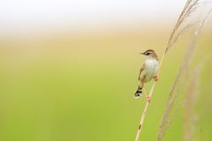 The Zitting Cisticola Royalty Free Stock Photo
