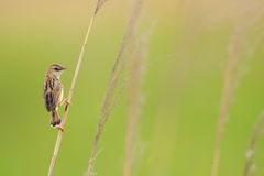 The Zitting Cisticola Royalty Free Stock Images