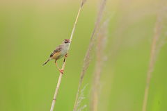 The Zitting Cisticola Royalty Free Stock Photography