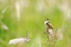 The Zitting Cisticola Stock Photos