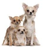 Zitting drie Chihuahuas stock fotografie