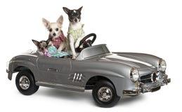Zitting drie Chihuahuas in convertibel royalty-vrije stock afbeelding