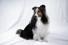 Zitting Sheltie Stock Foto