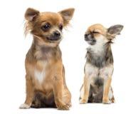 Zitting twee Chihuahuas Royalty-vrije Stock Foto