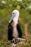 Zitting van baby de Prachtige Frigatebird op een boom op het Noorden Seymour royalty-vrije stock fotografie