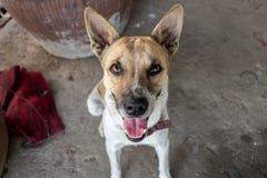 Zitting van de close-up de Leuke Hond op Vuil Ruw Concreet Grondpuppy die de Tong uit met Glanzende Heldere Ogen en Pointy-Oren p royalty-vrije stock foto's